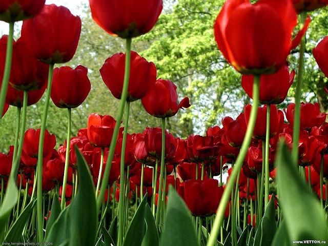 jardín-de-tulipanes-rojos