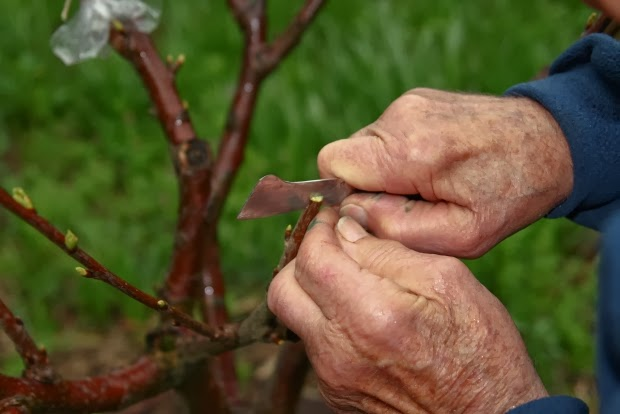 Cherry_tree_grafting_1